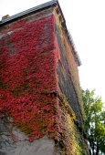 Autumn leaves on the side of my school.