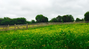 Rainy buttercups
