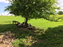 Lambs under a tree