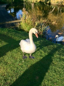 Watch out for the swans!