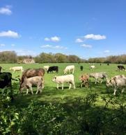Hello, cows and calves!