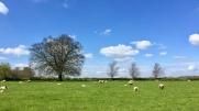 Hello, sheep and lambs!