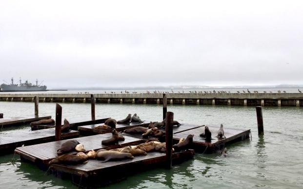 Pier 39 sea lions!