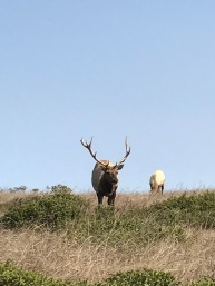 Tomales Point Tule Elk